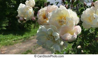 witte bloem, wind