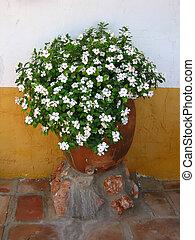 witte bloemen, in, pot