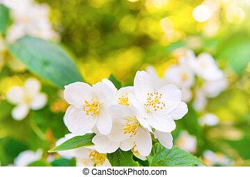 witte bloemen, jasmijn