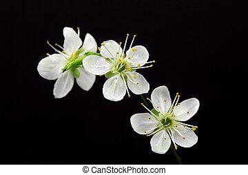 witte bloemen, op, zwarte achtergrond