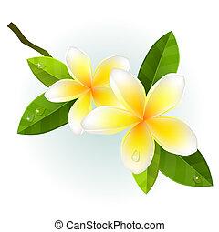 witte bloemen, vrijstaand, achtergrond, frangiapani