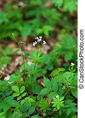 witte bloemen, woodruff