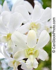 witte , cattleya, bloem