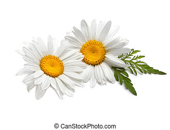 witte , chamomile