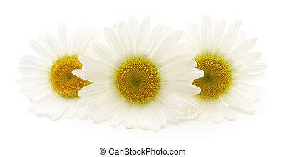 witte , chamomiles, achtergrond