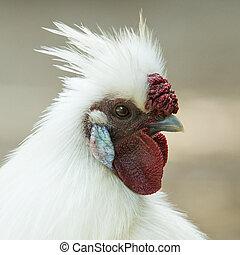 witte , chicken, op, een, hollandse, boerderij