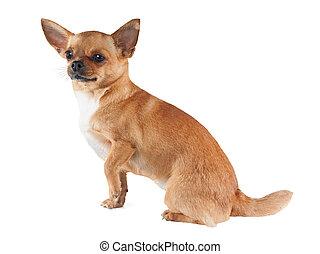 witte , chihuahua, dog, achtergrond, vrijstaand