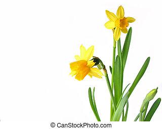 witte , daffodils