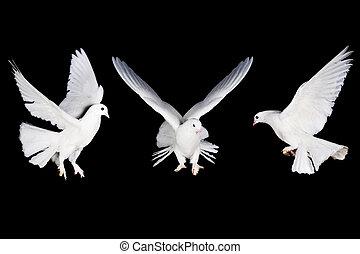 witte , duif, en, hand
