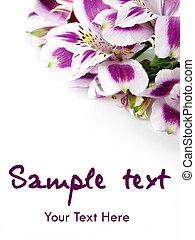 witte , en, paarse , alstroemeria, bloemen, kaart, achtergrond