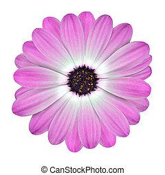 witte , en, roze, osteospermum, madeliefje, bloem, vrijstaand