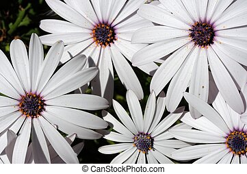 witte , flowers., osteospermum