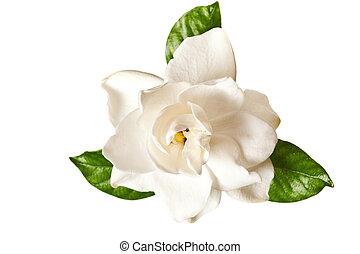 witte , gardenia, blossom , vrijstaand