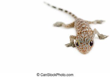 witte , gekko, achtergrond