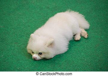 witte , gras, dog, het liggen