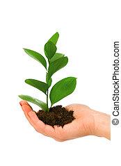 witte , hand, groene, vrijstaand, kiemplant