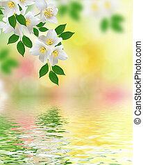 witte , jasmijn, flower.