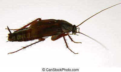 witte , kakkerlak