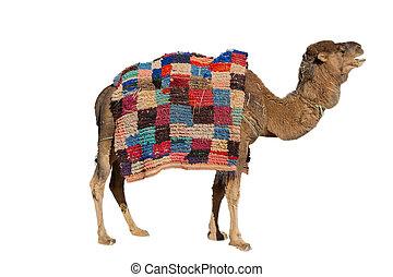 witte , kameel