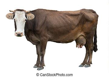 witte , koe, bruine achtergrond, vrijstaand