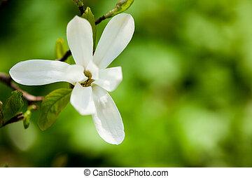 witte , magnolia, tak