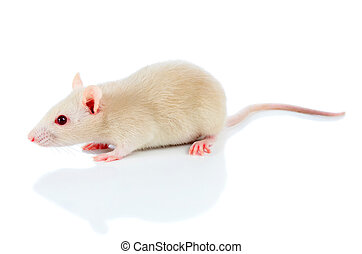 witte , muis