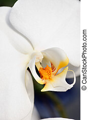 witte , orchidee, abstract, achtergrond