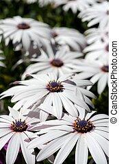 witte , osteospermum, flowers.