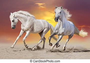 witte paarden, uitvoeren