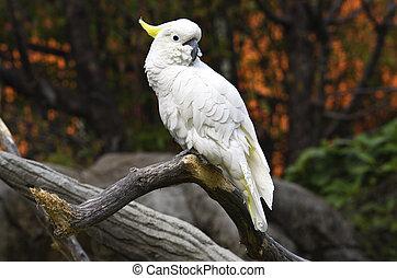 witte , papegaai, tak
