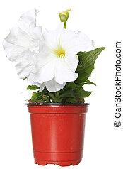 witte , petunia, in, de, pot