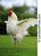 witte , propageren, haan, vleugels, (cock)