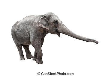 witte , romp, uitgerekkenene, vrijstaand, elefant