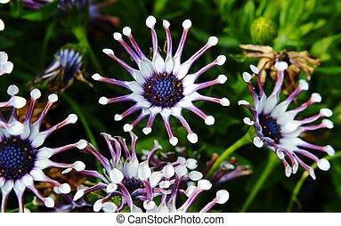 witte , spin, osteospermum