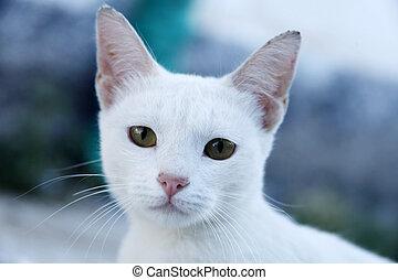 witte , straat, huiselijke kat
