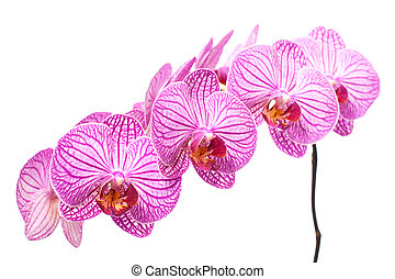 witte , tak, orchidee