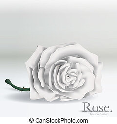 witte , vector, roos, bloem, op achtergrond