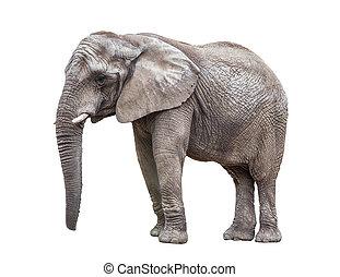 witte , vrijstaand, elefant