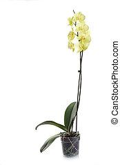 witte , vrijstaand, orchidee