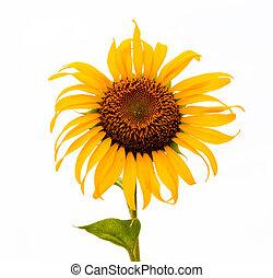 witte , zonnebloemen, achtergrond