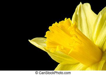 wizerunek, żonkil, do góry, żółty, czarnoskóry, zamknięcie