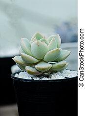 wizerunek, do góry, elegans, zamknięcie, kaktus echeveria