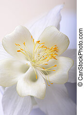wizerunek, do góry, tulipan, czarnoskóry, zamknięcie, biały
