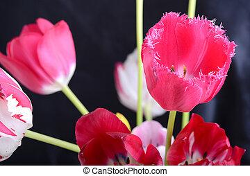 wizerunek, do góry, tulipan, czarnoskóry, zamknięcie, kwiaty