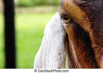 wizerunek, goat, do góry szczelnie, oko