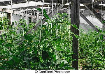 wnętrze, prospekt, od, szklarnia, z, pomidor, rośliny, na, okolica