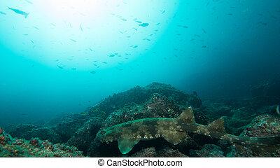 wobbegong shark at NSW, Australia