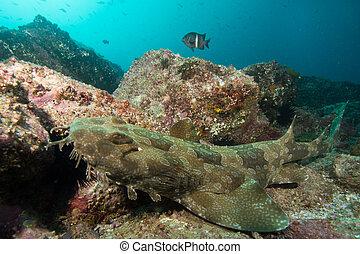 wobbegong, tiburón, australia, nsw