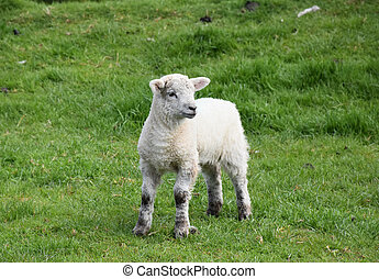 Wobbly Legged Lamb Standing in a Grass Field