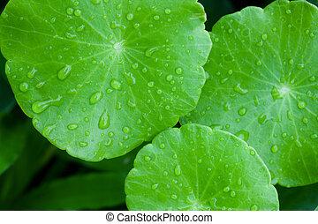 woda, closeup, krople, liść, zielony